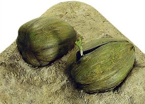 Eclosion des oeufs : germination noix de coco