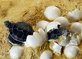 Eclosion des oeufs : tortues